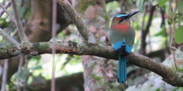 Turquoise-browed MotMot in the Mayan Ruins of Copan, Honduras