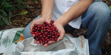 farmer holding ripe coffee cherries in his hands