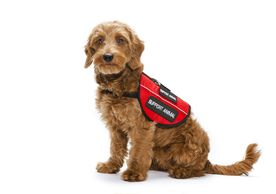 Therapy dog, emotional support dog, training, certification, id tags, ADA, PTSD, anxiety, federal