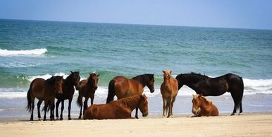 wild Spanish mustang horses on the beach in Corolla North Carolina
