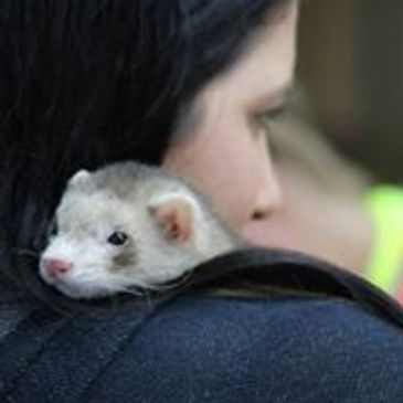 Ferret Dreams Rescue and Adoption