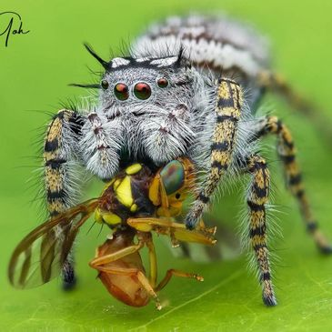 Phidippus Mystaceus Female adult Jumping spider