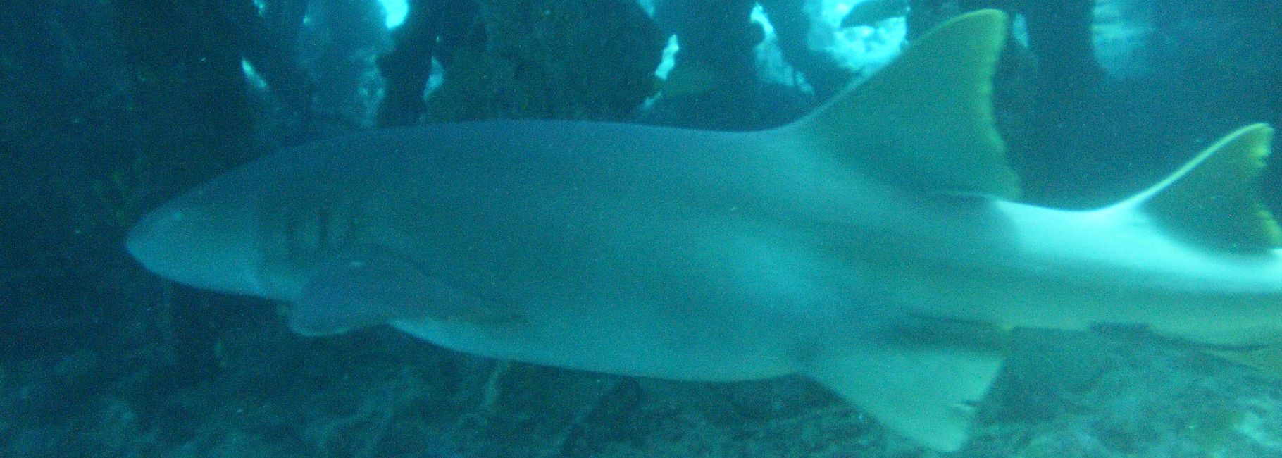 Nurse Shark inside barge wreck