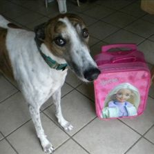 Greyhound with suitcase