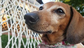 Molly a senior dachshund