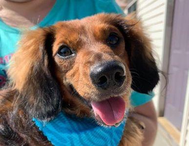 Adopt | Dachshund Haus Rescue