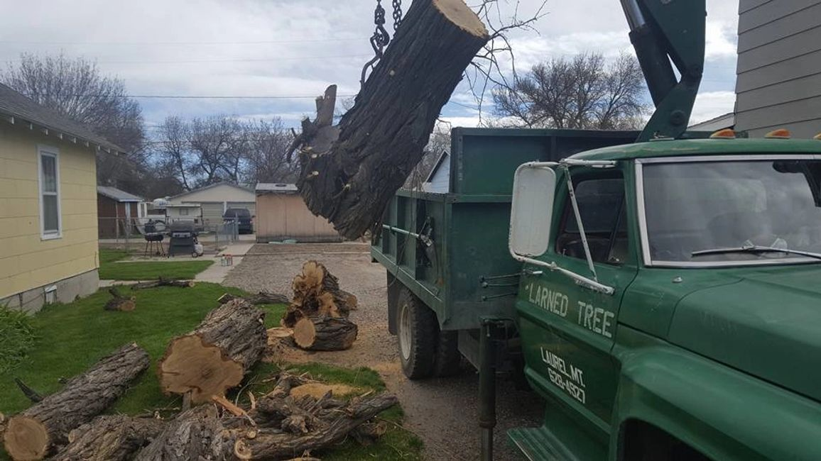 Larned Tree Service in Billings, MT removing a Locust tree for a rental house.