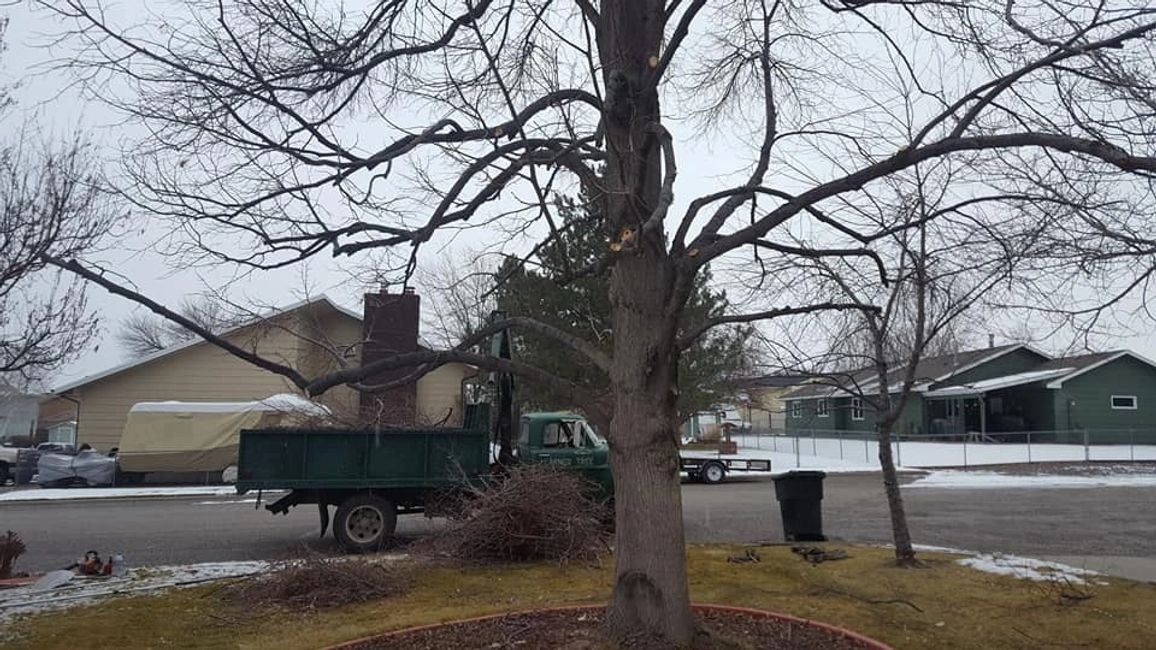 Larned Tree Service is pruning a large Linden Tree today.   These trees create great shade.