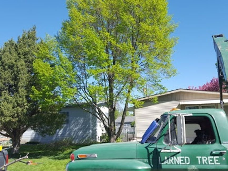 Corrective pruning a Linden Tree in Billings, MT.  These are great shade trees for your yard..