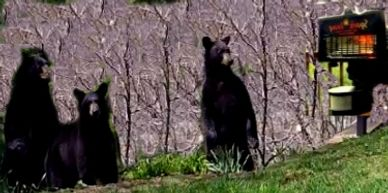 Three Bears keep their distance from Spark-Away Animal Deterrent