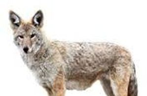 Keep Coyotes away with Spark- Away, an Effective, Safe, and Humane Animal Deterrent