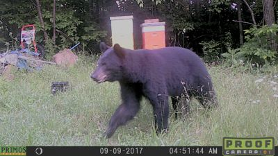 Beautiful Bear runs from Bee Hives protected by Spark-Away