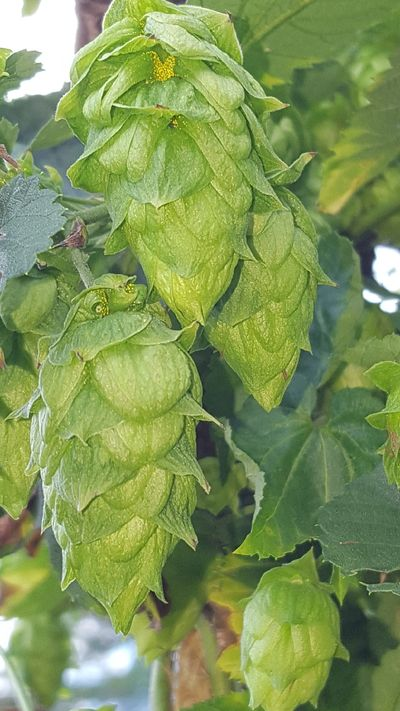 Check out the Lupulin (yellow powder that contains Hop acids and essential oils) in those NJ Hops!