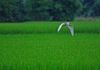 Fly - white Egret