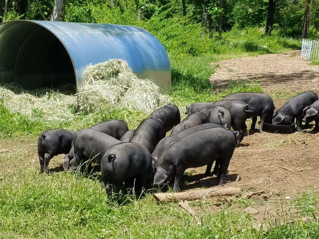 FARM DAY SUNDAY OCTOBER 6, 2019 3:30-5:30. DROP BY AND SEE US AND TASTE OUR PASTURE RAISED PORK