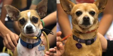 Therapy chihuahua with kids in classroom