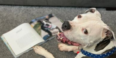 Pit bull dog hero with book adorable