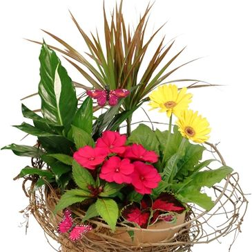 Terracotta Pot, Grapevine, Butterflies, Peace Lily, Dracaena Plant, Yellow Potted Gerbera , Hot Pink
