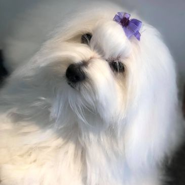 A Coton de Tulear with her purple hair clip