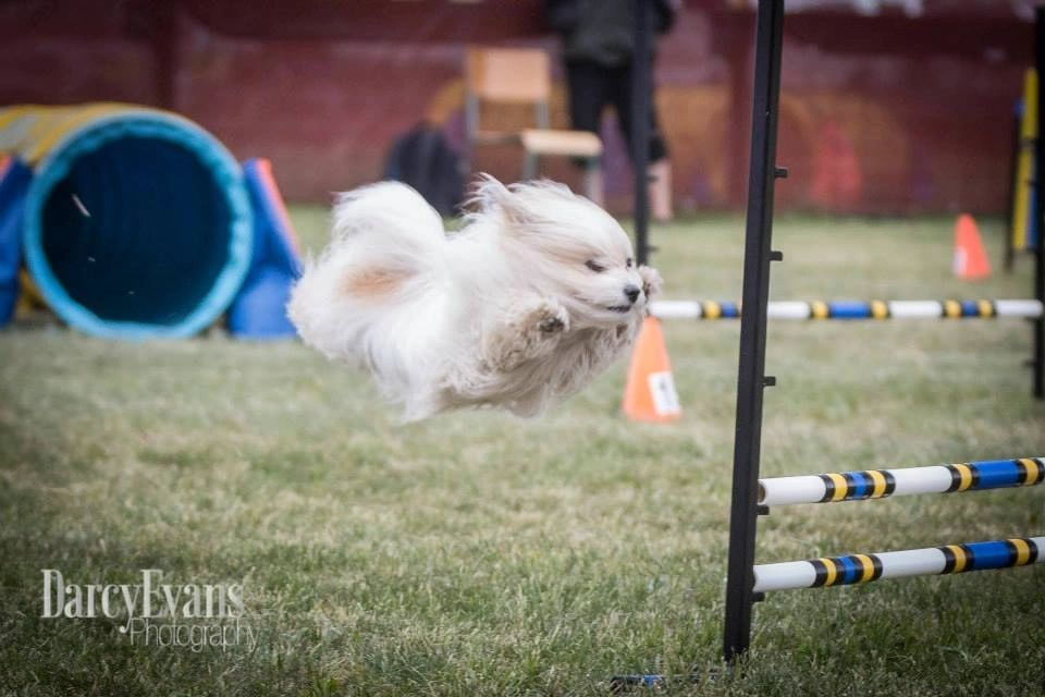 A Coton de Tulear participating in an agility match.