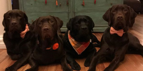 Black yellow chocolate lab Labrador puppy Puppies  for sale  Breeder Service dog