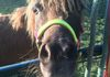 Bubba, our mini horse who is known for his amazingly perfect teeth!