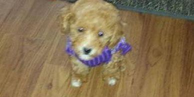 Topoftheridgekennel - Puppies, Dogs, Adopt a Pet, Puppies, Pets