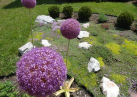 flowering giant allium globe cedars garden landscaping design services Tough Oaks Landscaping Barrie