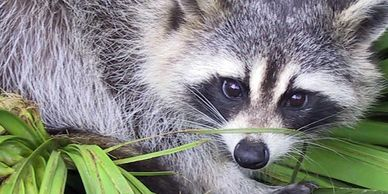 Racoon Removal in Caledon | Hoover Environmental Group