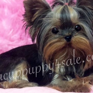 AVAILABLE Our sweet AnnaBelle is a yorkie  9 months , She is ready for her forever home .  More info