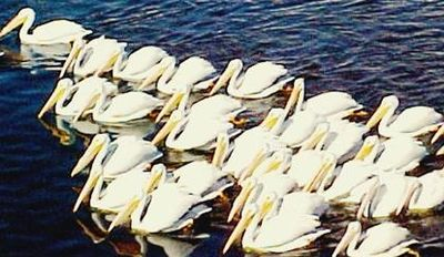 White Pelicans fishing on Lake San Marcos