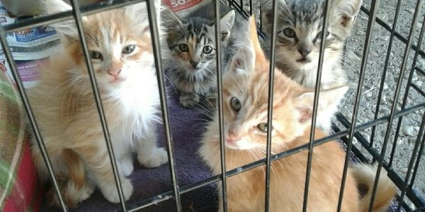 Rescue kittens saved from the streets of Stockton by dedicated volunteers.