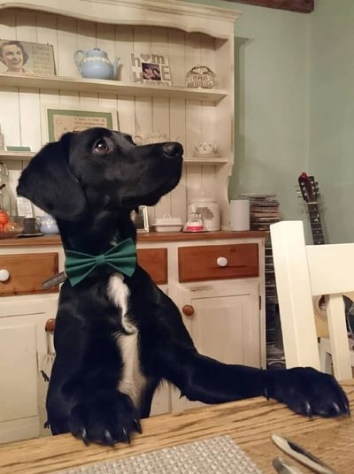 Beautiful  black springador dog posing in kitchen wearing a bow tie