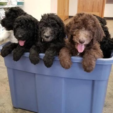 Some of our standard poodles in Minnesota
