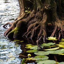 Tree roots in water