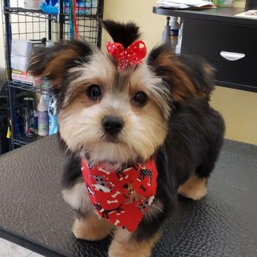 Yorkshire terrier puppy just finished getting her groom with bandana and bow.