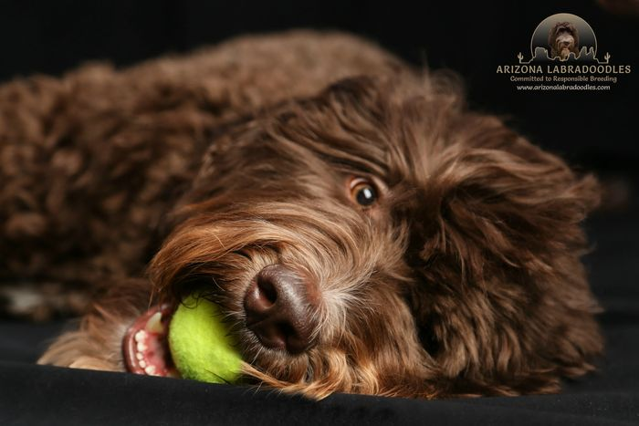Arizona Labradoodles - Arizona Labradoodles, Puppies for Sale