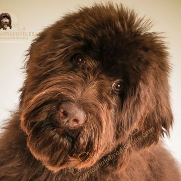 mn labradoodle