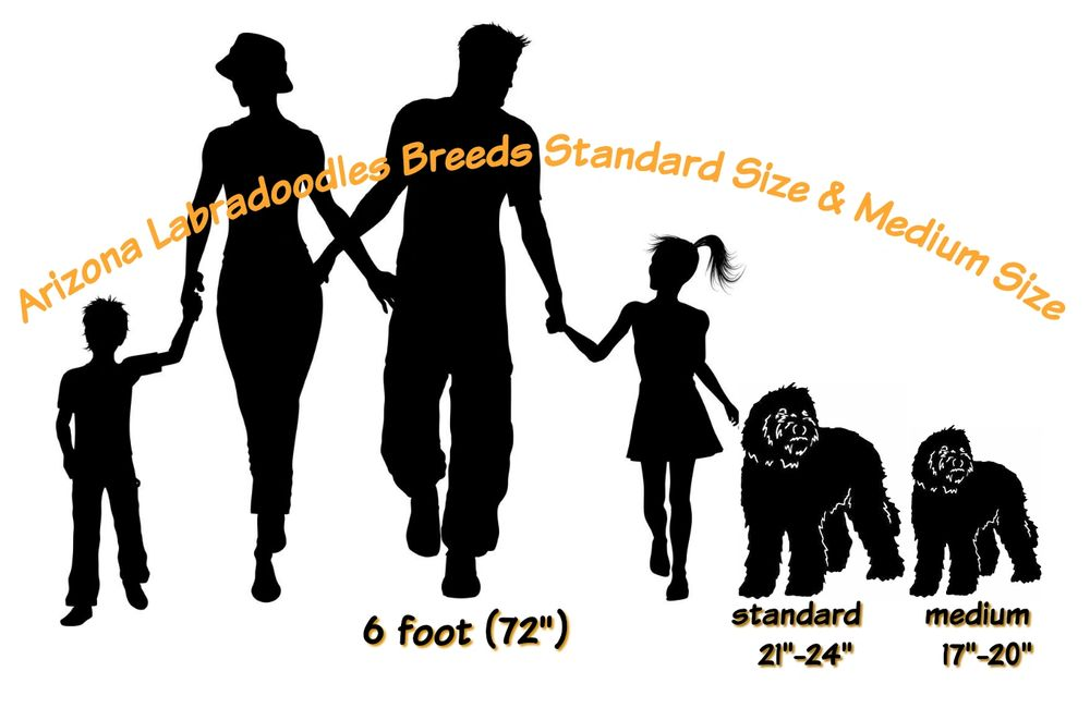 labradoodle sizes
