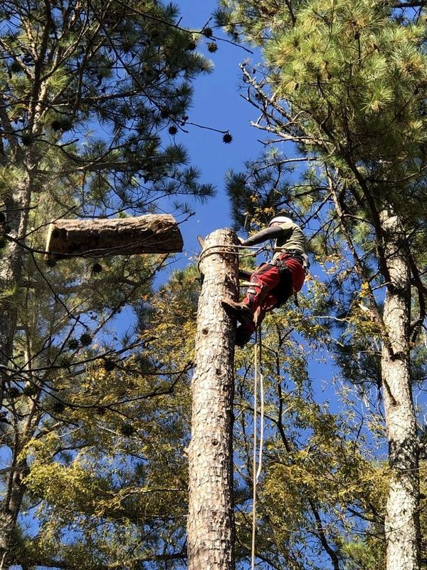 Topping dead lolly pine in lilburn ga