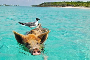 picture of a pig swimming in the ocean with a bird on its back getting a ride.