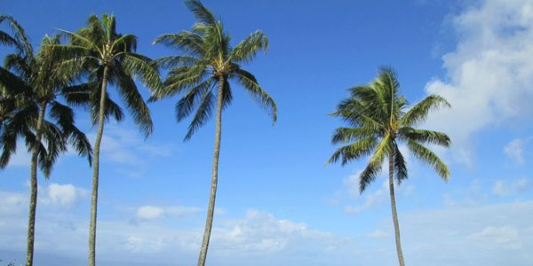 Picture of palm trees on the island of Maui.