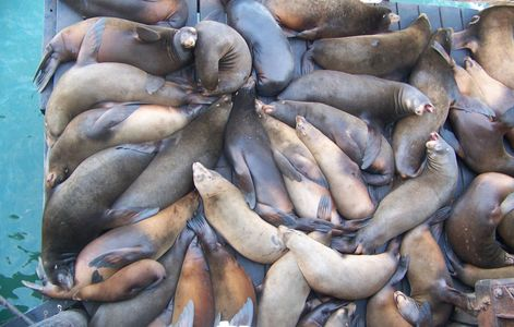 Sea lions basking at Santa Cruz Wharf, 2009