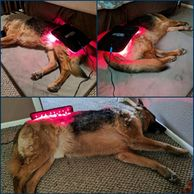 Equine and canine light therapy