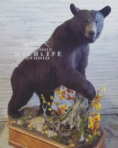 Lifesize black bear  Spring bear is coming get ahold us of