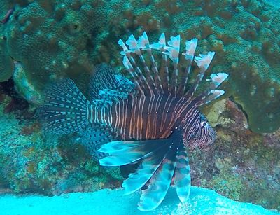 Learn how to control invasive Lionfish.