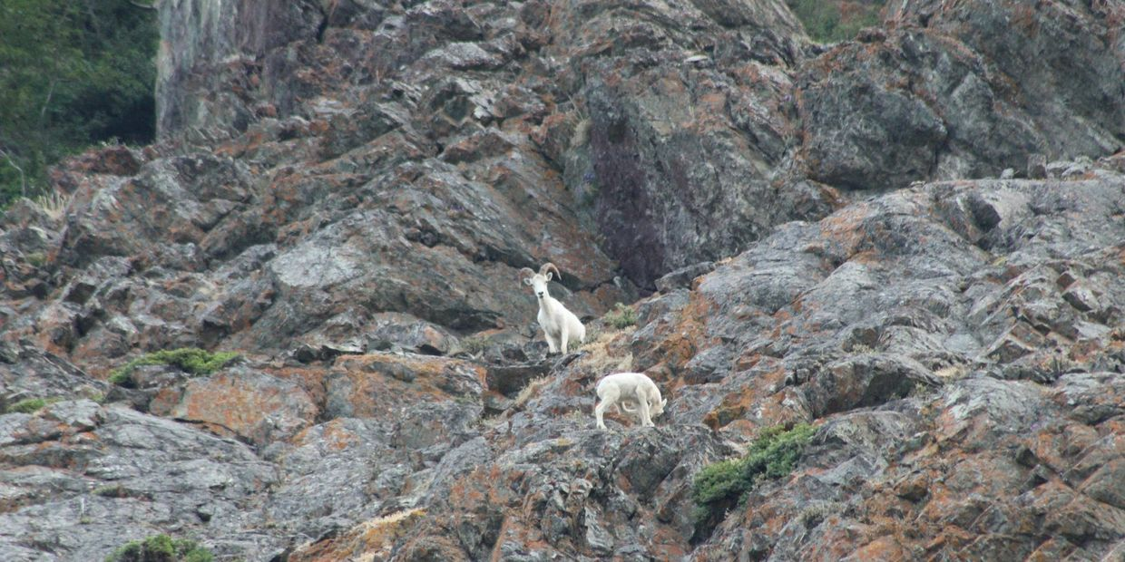 Dall sheep in Anchorage