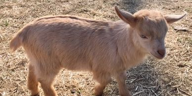 Our Goats | Little Goat Farm at the Lake