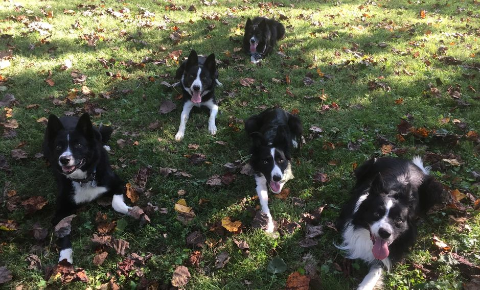 Dog, border collie, dog training, doggy daycamp