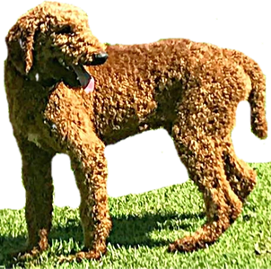 Standard Male Poodle ~ Apricot  AKC  Registered       OFA Tested ~ Hips, Elbows, Cardiac, Petallar